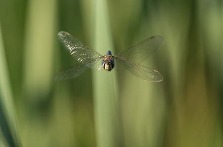 Flying dragonfly Aeshna mixta
