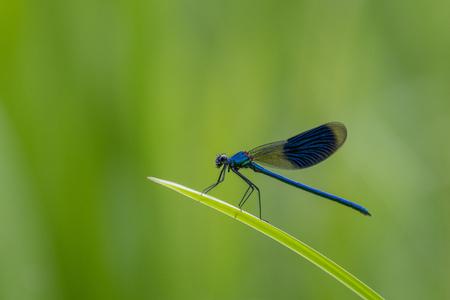 Male Banded Demoiselle on grass Standard-Bild