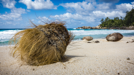 Closeup of a coconut in the white sand on a tropical beach on the Seychelles.