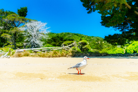 Seagull on a tropical beach with turquoise water and white sand in Abel Tasman national park, New Zealand