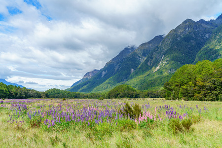 meadow with lupins in a valley between mountains, southland, new zealand