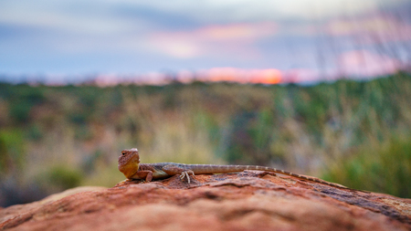 portrait of a lizard in the sunset of kings canyon, northern territory, australia
