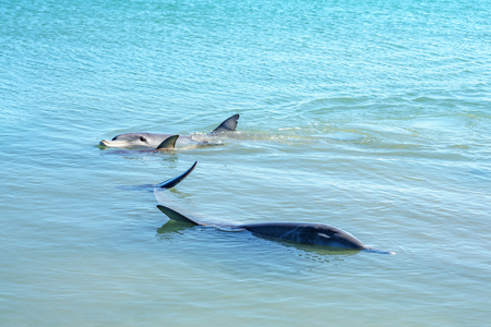 dolphins in the ocean at monkey mia, sharkes bay, western australia