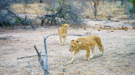 wild lions posing on a rock in kruger national park in mpumalanga in south africa Reklamní fotografie - 151482551