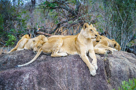 wild lions posing on a rock in kruger national park in mpumalanga in south africa Reklamní fotografie - 151482629