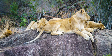 wild lions posing on a rock in kruger national park in mpumalanga in south africa Reklamní fotografie - 151482645