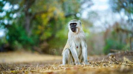 vervet monkey in kruger national park in mpumalanga in south africa Reklamní fotografie - 151482698