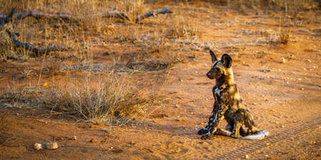 a pack of wild dogs in kruger national park in mpumalanga in south africa Reklamní fotografie - 151482774