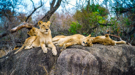 wild lions posing on a rock in kruger national park in mpumalanga in south africa Reklamní fotografie - 151833379