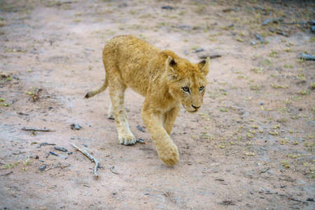 young lions in kruger national park in mpumalanga in south africa