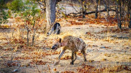wild hyena in kruger national park in mpumalanga in south africa Reklamní fotografie - 151833430