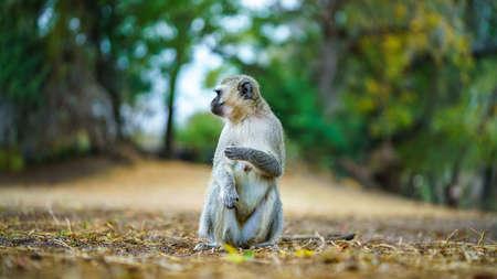 vervet monkey in kruger national park in mpumalanga in south africa Reklamní fotografie - 151833438
