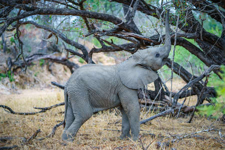 baby elephant in kruger national park in mpumalanga in south africa