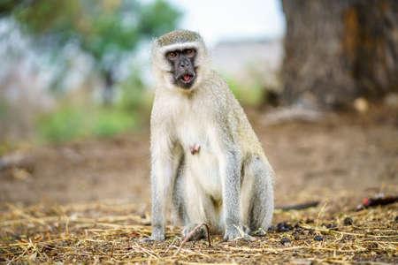vervet monkey in kruger national park in mpumalanga in south africa Reklamní fotografie - 151833446