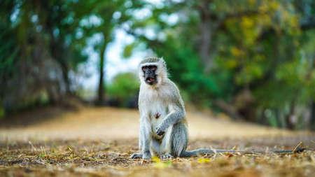vervet monkey in kruger national park in mpumalanga in south africa Reklamní fotografie - 151833447