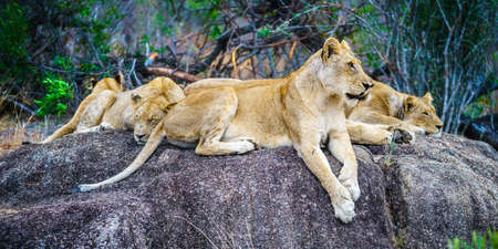 wild lions posing on a rock in kruger national park in mpumalanga in south africa