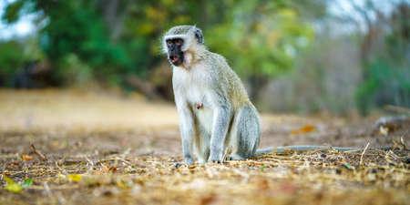 vervet monkey in kruger national park in mpumalanga in south africa Reklamní fotografie - 151833457