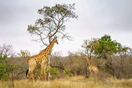 wild giraffes in kruger national park in mpumalanga in south africa Reklamní fotografie - 151833642