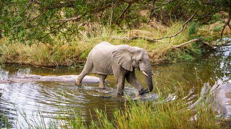 vervet monkey in kruger national park in mpumalanga in south africa Reklamní fotografie - 151170740