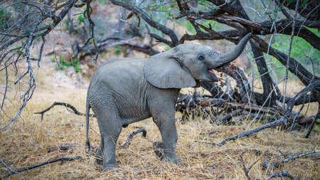 vervet monkey in kruger national park in mpumalanga in south africa Reklamní fotografie - 151170747