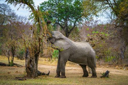 elephant in kruger national park in mpumalanga in south africa Reklamní fotografie - 151170769