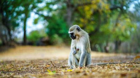 vervet monkey in kruger national park in mpumalanga in south africa Reklamní fotografie - 151170790