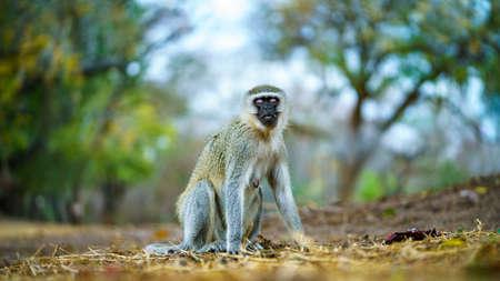 vervet monkey in kruger national park in mpumalanga in south africa Reklamní fotografie - 151170791