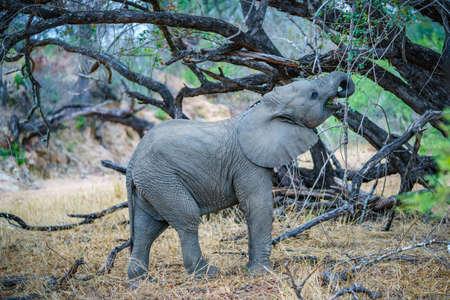 elephant in kruger national park in mpumalanga in south africa Reklamní fotografie - 151170676