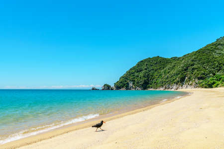 oystercatcher on a tropical beach with turquoise water and white sand in abel tasman national park, new zealand