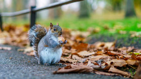 a sweet gray squirrel in a park is eating a cookie
