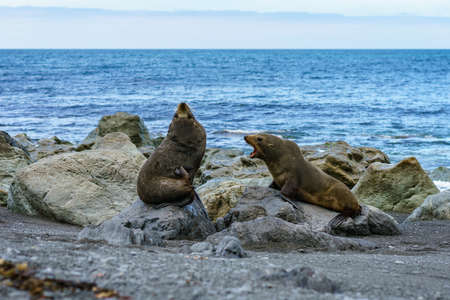 fur seals at the coast of cape palliser in new zealand