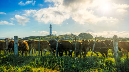 cows at cape egmont lighthouse and volcano mount taranaki in new zealand