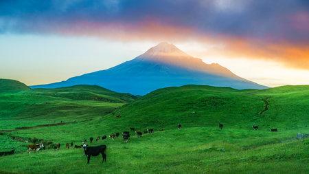 sunrise over cone volcano mount taranaki with cows in green grass, new zealand