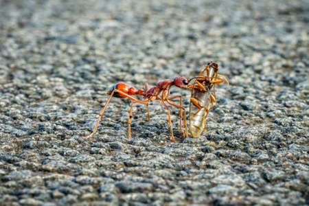 hunting red bull ant with its prey, australia