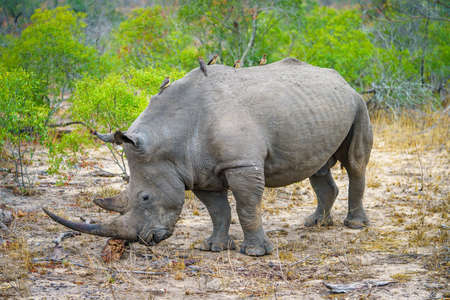 wild white rhino in kruger national park in mpumalanga in south africa