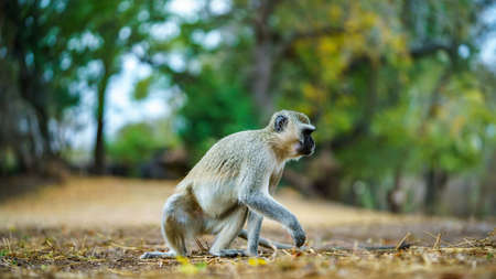 vervet monkey in kruger national park in mpumalanga in south africa 版權商用圖片