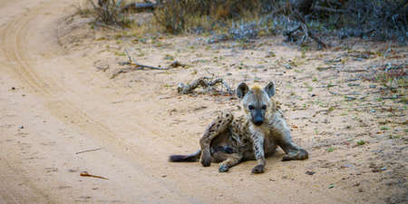 wild hyena in kruger national park in mpumalanga in south africa 版權商用圖片