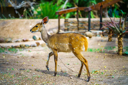 little antelope in kruger national park in mpumalanga in south africa 版權商用圖片