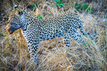 wild leopard with a mongoose as his prey in kruger national park in mpumalanga in south africa 版權商用圖片
