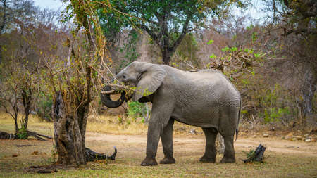 elephant in kruger national park in mpumalanga in south africa 版權商用圖片