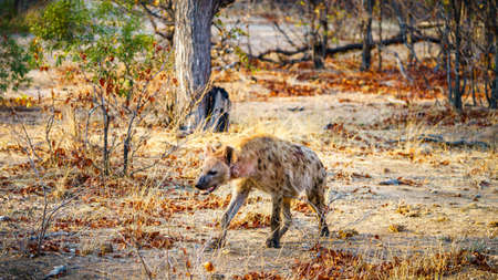 wild hyena in kruger national park in mpumalanga in south africa