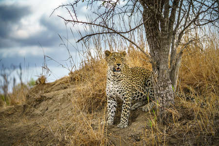 wild leopard in kruger national park in mpumalanga in south africa