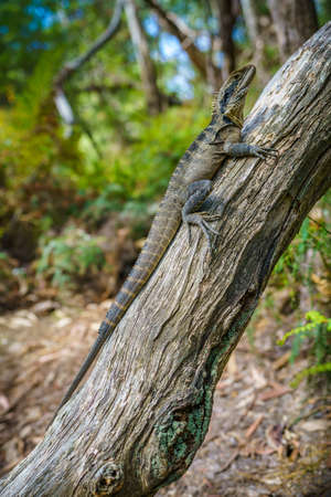 Eastern Water Dragon in the blue mountains national park, new south wales, australia