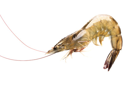 in a raw: Raw shrimp is isolated on white background.