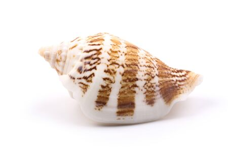 seashell is isolated on white background.