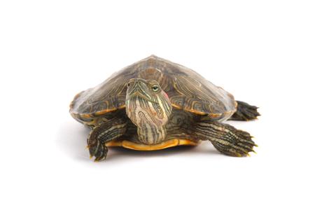 Pet turtle red-eared slider(Trachemys scripta elegans) isolated on white background. Banco de Imagens