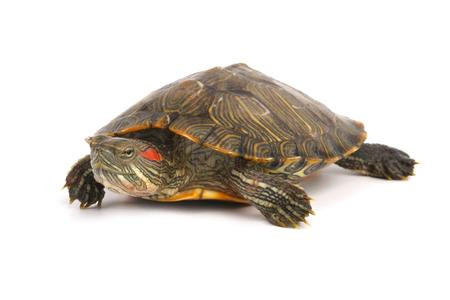 Cursore dalle orecchie rosse della tartaruga dell'animale domestico (elegans di scripta di Trachemys) isolato su fondo bianco.
