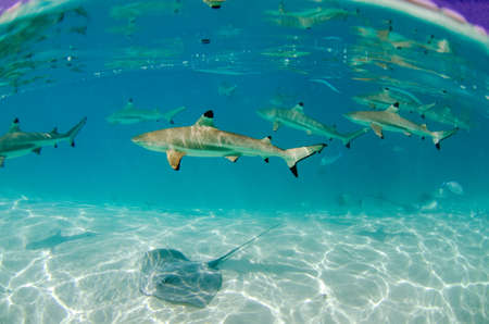 Group of black tip reef sharks swim by in Moorea French Polynesia Banco de Imagens