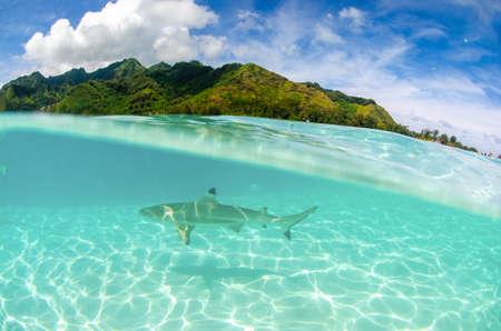 Underwater split shot of a black tip reef shark swimming at Moorea in Tahiti French Polynesia