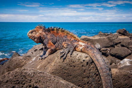 Marine iguana from Galapagos Islands warming in the sun on the rocks at the beach 免版税图像
